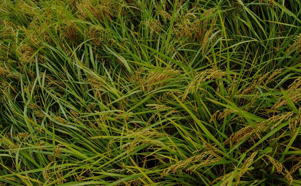 自然栽培パーティの稲作