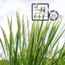 カシオ計算機株式会社さんご支援の「一反パートナー」2018 圃場レポート③